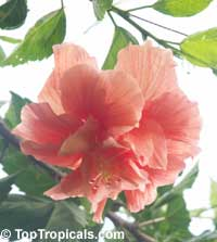 Hibiscus Jane Cowel, Hibiscus Jane Cowel Double peach  Click to see full-size image