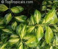 Jasminum volubile, Jasminum simplicifolium, Wax Jasmine, Australian Wax Jasmine  Click to see full-size image