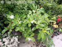 Gardenia taitensis Tiare Tahiti, Tahiti Gardenia, Star of Tahiti  Click to see full-size image