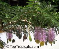 Dichrostachys cinerea, Cailliea glomerata, Dichrostachys glomerata, Dichrostachys nutans, Mimosa cinerea, West African Sickle Bush, Aroma, Kalahari Christmas tree, Chinese lantern tree, Marabou-thorn, Princess Earrings  Click to see full-size image