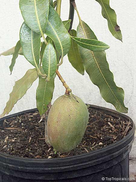 Top Mango Julie (Dwarf) GA36
