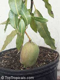 Mangifera indica - Super Julie Mango, Grafted