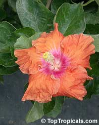 Hibiscus Fiesta, Hibiscus Fiesta