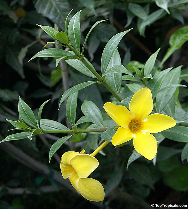 Toptropicals Com Rare Plants For Home And Garden