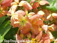 Mussaenda marmelada, Marmelade Mussaenda  Click to see full-size image