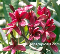 Plumeria Red Variegated, grafted  Click to see full-size image
