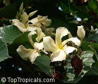 Chonemorpha penangensis, Frangipani VineClick to see full-size image