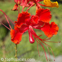 Caesalpinia pulcherrima Mexican Flame, Mexican Peacock flower