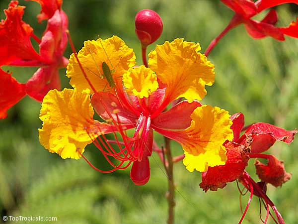 Caesalpinia Pulcherrima Mexican Flame Dwarf Poinciana Seeds Click To See Full Size Image