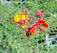 Caesalpinia pulcherrima Mexican Flame, Mexican Peacock flower  Click to see full-size image