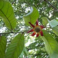 Uvaria grandiflora, Unona grandiflora, Uva grandiflora, Uvaria cardinalis, Uvaria flava, Uvaria platypetala, Uvaria purpurea, Uvaria rubra, Large-flowered Uvaria  Click to see full-size image