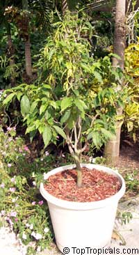 Cananga fruticosa, Cananga odorata var. Fruticosa, Cananga kirkii, Dwarf Ylang-Ylang, Dwarf Chanel #5 Tree  Click to see full-size image