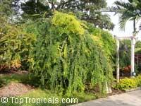 Bauhinia hookerii, Lysiphyllum hookerii, Mountain Ebony, Pegunny, White bauhinia  Click to see full-size image