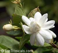 Jasminum sambac Mysore Mulli, Mysore MulliClick to see full-size image