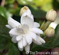 Jasminum sambac Mysore Mulli, Mysore Mulli  Click to see full-size image