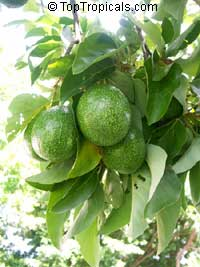 Persea americana - Avocado Bernecker, Grafted  Click to see full-size image