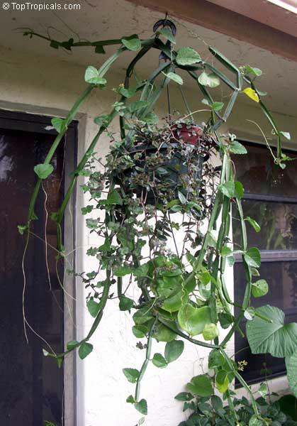 Veldt Grape Cissus Quadrangularis: Cissus Quadrangularis, Vitis Quadrangularis, Veld Grape