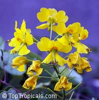 Caesalpinia mexicana - fragrant Yellow