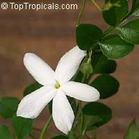 Jasminum officinale grandiflorum - French Perfume Jasmine