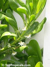 Scaevola taccada, Scaevola sericea, Naupaka kahakai, Sea Lettuce, Beach Plum, Beach Grape, Half FlowerClick to see full-size image
