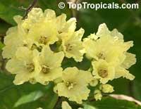 Cordia dentata, Cordia Suwana-Pruek  Click to see full-size image