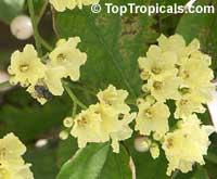 Cordia dentata, Cordia Suwana-PruekClick to see full-size image
