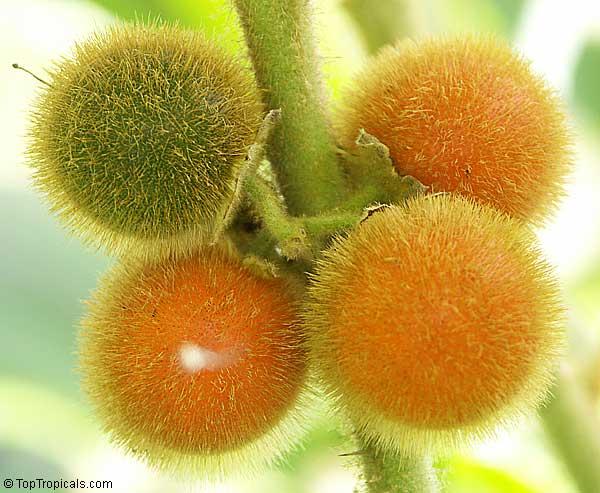 Solanum quitoense, Solanum angulatum, Naranjilla ...