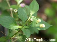 Lippia dulcis, Phyla scaberrime, Lippia mexicana, Aztec Sweet Herb, Sweetleaf  Click to see full-size image