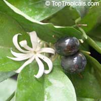 Jasminum adenophyllum - seeds