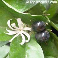 Jasminum adenophyllum - Bluegrape jasmine  Click to see full-size image