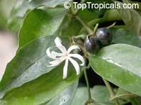 Jasminum adenophyllum, Bluegrape jasmine, Princess jasmine, Che vang, Lai la co tuyenClick to see full-size image