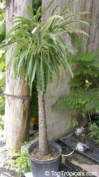 Pachypodium rutenbergianum, Madagascar Palm
