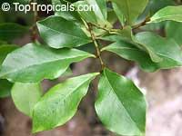 Magnolia figo, Michelia figo, Magnolia fuscata, Banana Magnolia, Banana Shrub, Port Wine MagnoliaClick to see full-size image