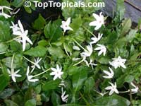 Gardenia nitida, Gardenia posoqueria, Gardenia  Click to see full-size image