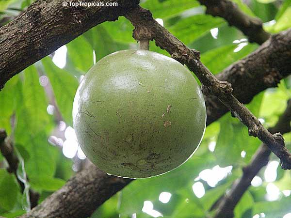surinams traditional medicine