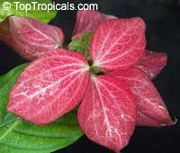 Mussaenda philippica, Mussaenda  Click to see full-size image