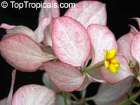 Mussaenda philippica Queen Sirikit, Mussaenda Queen Sirikit, Peach Mussaenda  Click to see full-size image