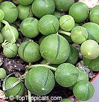 Senecio rowleyanus, String of peas, String of pearls  Click to see full-size image