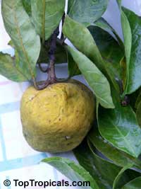 Artocarpus hypargyraeus, Kwai Muk  Click to see full-size image