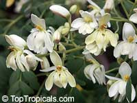 Moringa oleifera, Moringa pterygosperma, Horseradish tree, Ben Oil Tree, Coatli, Drumstick tree, Bridal veilClick to see full-size image