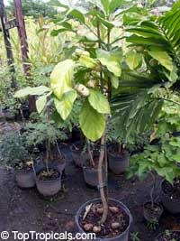 Morinda citrifolia, Great Morinda, Indian Mulberry, Mengkudu (Malay), Nonu/Nono (Pacific Islands), Noni (Hawaii)