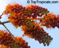 Colvillea racemosa - Colvilles glory  Click to see full-size image