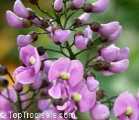 Philenoptera violacea - seeds  Click to see full-size image