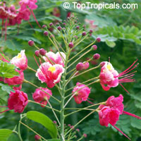 Caesalpinia pulcherrima Compton (pink) Dwarf Poinciana