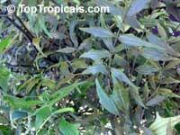 Thunbergia kirkii, Blue Sky Shrub  Click to see full-size image