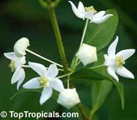 Hoya odorata, Wax plantClick to see full-size image