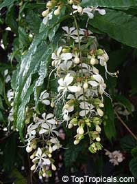 Clerodendrum wallichii (nutans) - Bridal Veil  Click to see full-size image