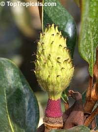 Magnolia grandiflora, Bull Bay, Southern MagnoliaClick to see full-size image