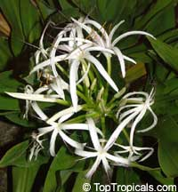 Crinum pedunculatum, Swamp lily, River lily, Spider lily  Click to see full-size image