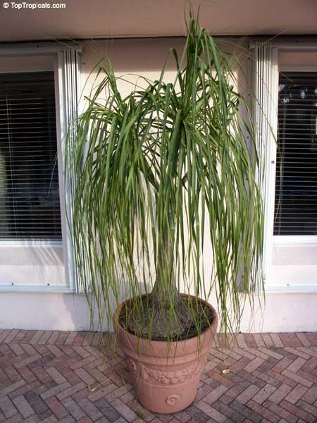 Beaucarnea recurvata nolina recurvata ponytail palm for Ponytail palm cats